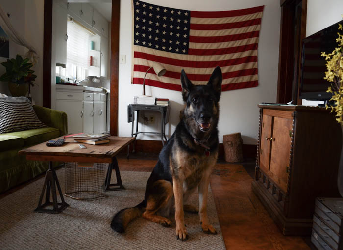 saber american flag german shepard dog living room portrait pet