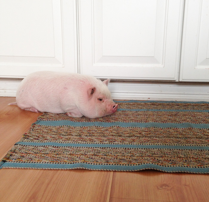 For One Week, We Had A Pet Pig