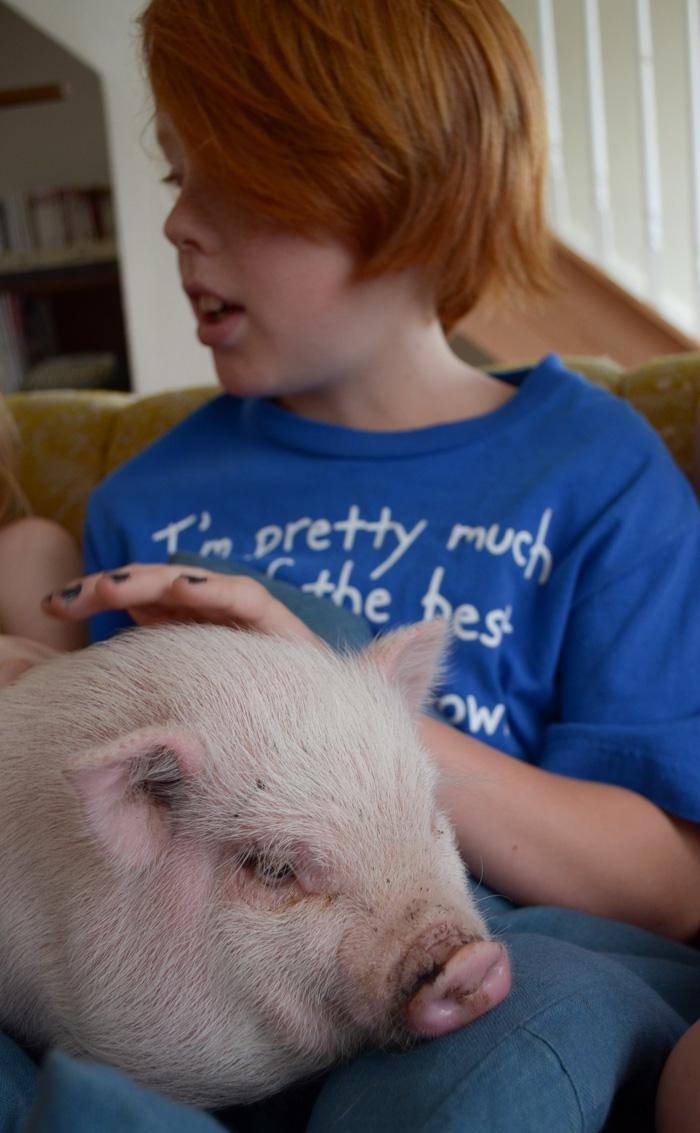 pet mini pig pot belly pig pink family piggy